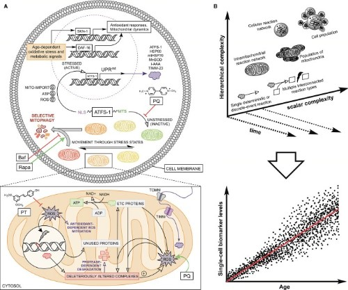 modeling of aging mitochondrial dynamics
